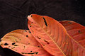 Red porous leaves on the black background Stock Photo