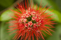 Red Powder Puff flower Royalty Free Stock Photo