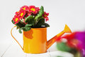Red primroses small orange watering can standing white wooden table Stock Images
