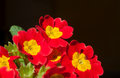 Red primula flower beautiful blossoming cultivar isolated on black background Stock Images