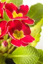 Red primula flowers with leaves close up Stock Images