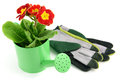 Red primula potted in water can with garden gloves aside. white Royalty Free Stock Photo