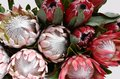 Red protea flower for background