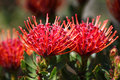 Red protea flowers Royalty Free Stock Photos