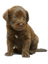 Red puppy on a white background sits Stock Image