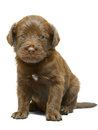 Red puppy on a white background sits Stock Images