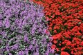 Red & purple colour flowerbed background Stock Photos