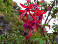 Red and purple Fuchsia Magellanica Royalty Free Stock Photo