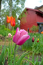 Red and purple tulips in the garden with a hut background Stock Photo