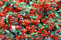 Red pyracantha fructification Stock Images