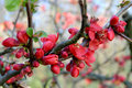 Red Quince Flower