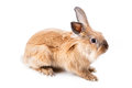 Red rabbit, isolated Royalty Free Stock Images