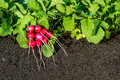 Red radish plants with bunch of radishes Royalty Free Stock Photo