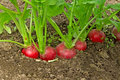 Red radishes growing in the garden bright Stock Photography