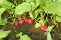 Red radishes in the soil
