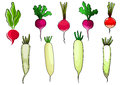 Red radishes and white daikon vegetables crispy pink with sappy green leaves for vegetarian food or agriculture theme cartoon Royalty Free Stock Image