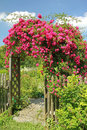 Red rambler rose on an arched garden entrance flourishing to the Stock Photo