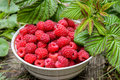 Red raspberries in bowl, with green leaves Royalty Free Stock Photo