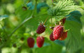 Red raspberries on the branch Royalty Free Stock Photo