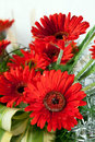 Red red daisy flowers Royalty Free Stock Photo
