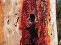 Red resin flowing detail of an australian gum tree with a hole in the bark and its freshly down the trunk Stock Photos