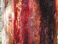 Red resin on gum tree bark detail of an australian with the shades of its streaming down the Royalty Free Stock Photos