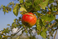 Red ripe appel in the late summer a apple before harvest Royalty Free Stock Photography