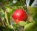 Red ripe apple on a tree Royalty Free Stock Photo
