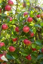 Red ripe apples growing in the garden