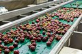 Red ripe cherries on a wet conveyor belt in a packing warehouse Royalty Free Stock Photo