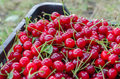 Red ripe sour cherry Royalty Free Stock Photo