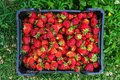 Red ripe strawberries in the box Royalty Free Stock Photo