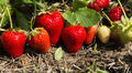 Red and ripe strawberries in the garden Royalty Free Stock Photo