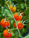 Red Ripe Tomatoes on the Vine Stock Images