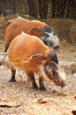 Red river hog the also known as the bush pig is a pig living in africa Stock Images