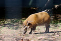 Red river hog looking for food on a sunny day Stock Photography