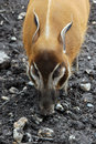 Red river hog pig Royalty Free Stock Image