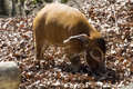 Red river hog, Potamochoerus porcus pictus, is the best representative of pigs Royalty Free Stock Photo