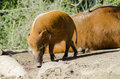 Red river hog a profile view of the also known as bush pig a wild pig sniffing the ground it has striking rufus fur with black Stock Photography