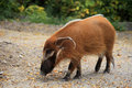 Red river hog the is seeking food Royalty Free Stock Photo