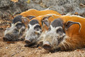 Red river hogs omnivores wild eat variety foods including grass berries insects carrion Royalty Free Stock Photography