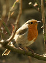Red robin ( erithacus rubecula) in roses Royalty Free Stock Images
