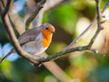 Red robin on a tree branch cute little bird Stock Images