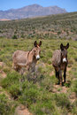 Red Rock Canyon Wild Burros Royalty Free Stock Photography
