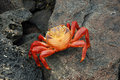 Red rock crab. Stock Photos