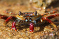 Red Rock Crab - Bonaire Stock Photo
