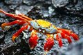 Red Rock Crab in the Galapagos Stock Photography
