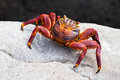 Red rock crab a latin pelecanus occidentalis Royalty Free Stock Image