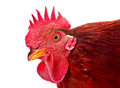 Red rooster Stock Photography