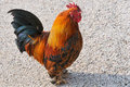 Red rooster on gravel Stock Photography